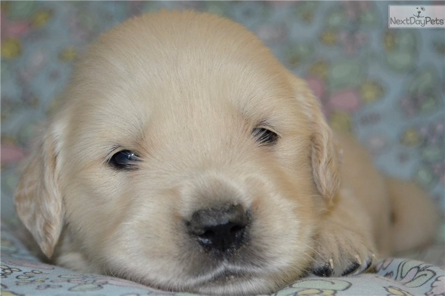 English Golden Retriever Puppy For Sale Near Cincinnati Ohio