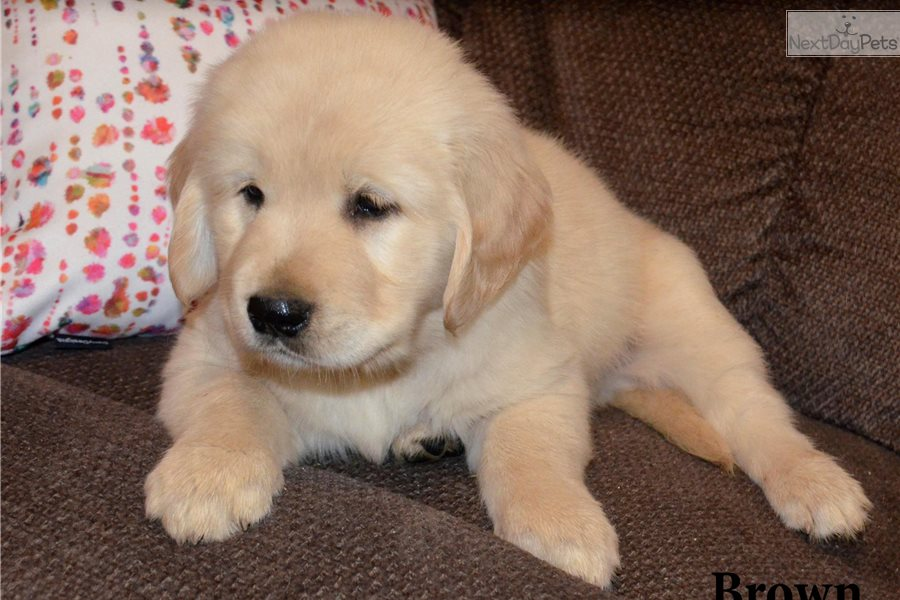 Imágenes De Golden Retriever Puppies For Sale In Cincinnati Ohio