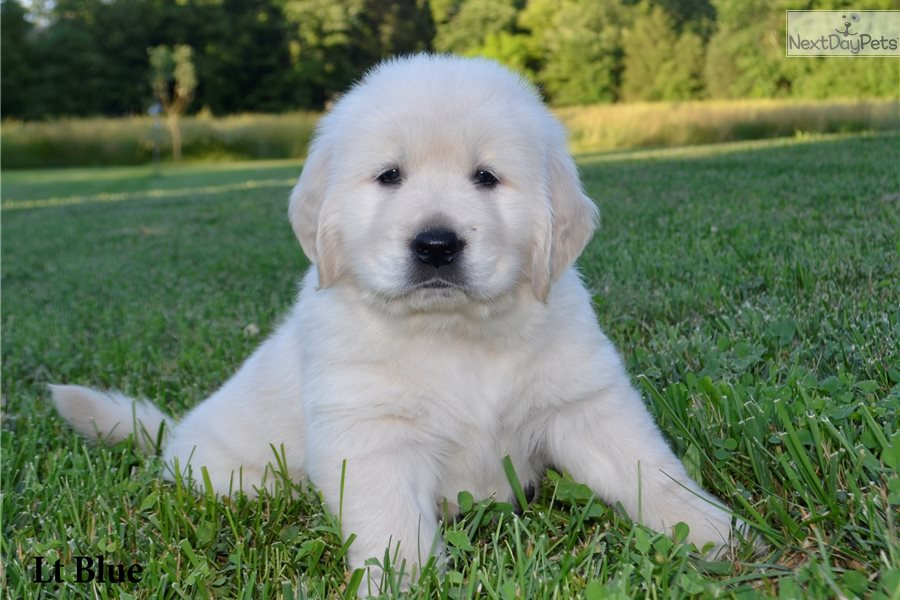 Golden Retriever Puppy For Sale Near Cincinnati Ohio A37df49c F901