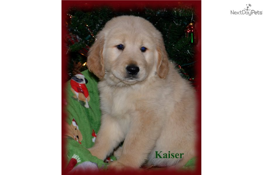Golden Retriever Puppy For Sale Near Cincinnati Ohio 8424e6f7 Bda1