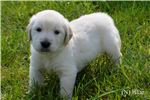 Picture of Male AKC English Cream Golden Retriever - Blue