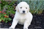 Picture of Female English Cream Golden Retriever - Yellow