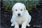 Picture of Male AKC English Cream Golden Retriever-Orange