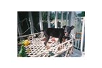 Picture of standare manchester terrier