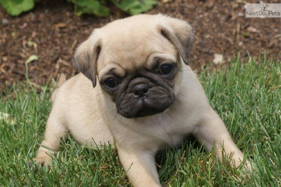 Puggle puppy for sale near Philadelphia, Pennsylvania ...