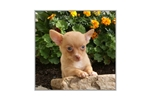 Picture of a Chihuahua Puppy