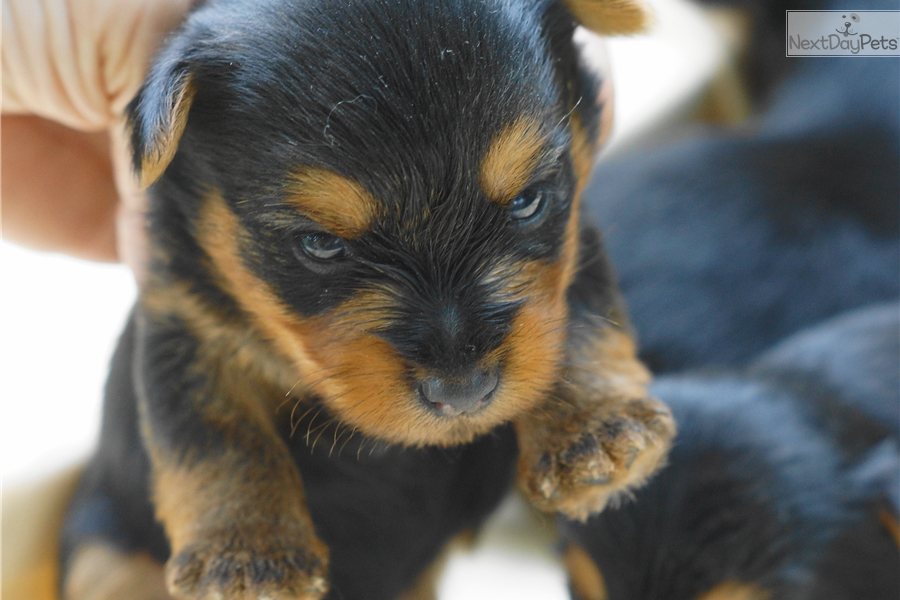 yorkie puppies for sale in philadelphia yorkshire terrier yorkie puppy for sale near 4284