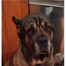View full profile for Manganiello Cane Corso