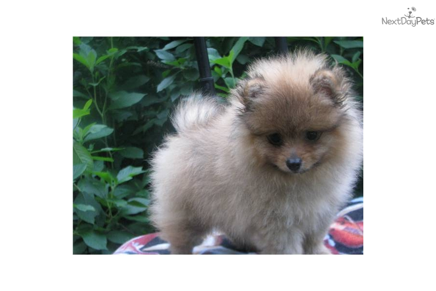 pomeranian breeders michigan pomeranian puppy for sale near grand rapids michigan 3916