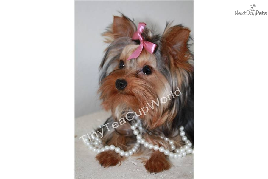 teacup yorkie adults tea cup yorkie adult quality porn 580