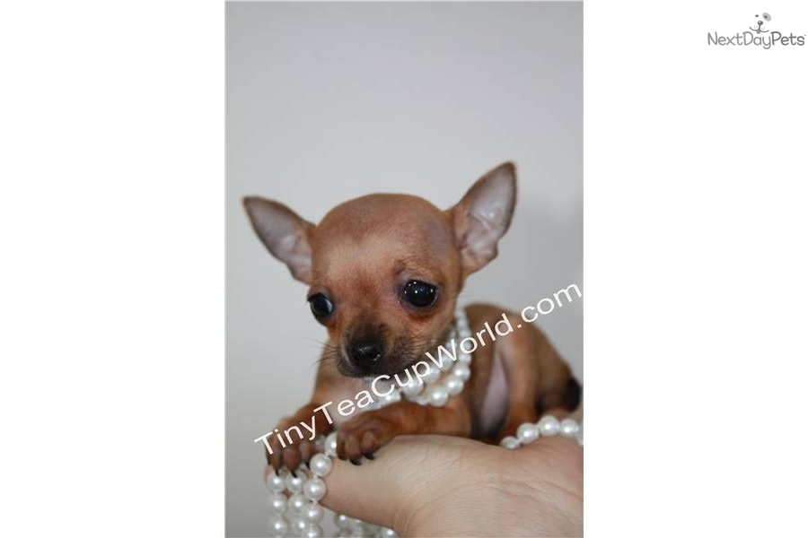Micro Chihuahua – HD Wallpapers