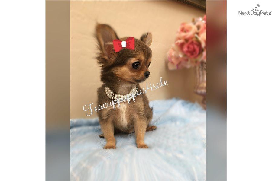 Benji Micro Chi Chihuahua Puppy For Sale Near Phoenix Arizona