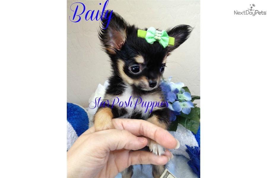 applehead long haired chihuahua puppies for sale chihuahua puppy for sale near phoenix arizona cc13dcf2 1cc1 902
