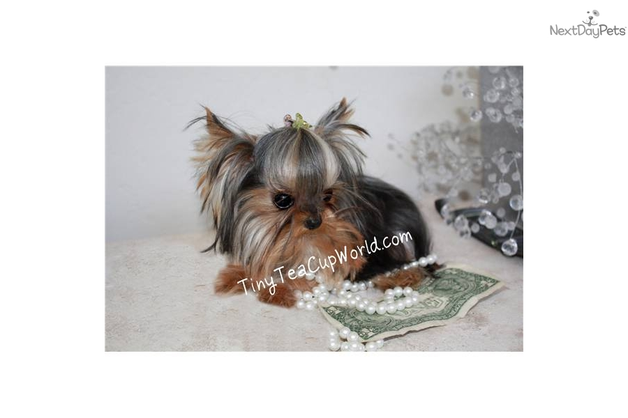 teacup yorkie adults yorkshire terrier yorkie puppy for sale near phoenix 9868