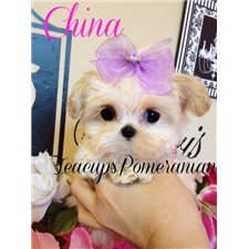 View full profile for Teacups Pomeranian