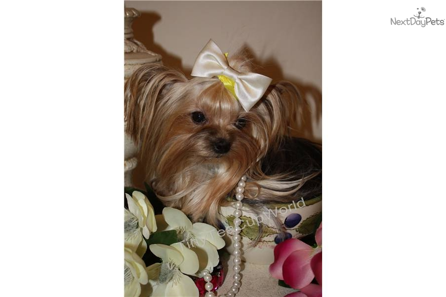 teacup yorkie adults meet micro teacup quot lisa quot a cute yorkshire terrier yorkie 1110