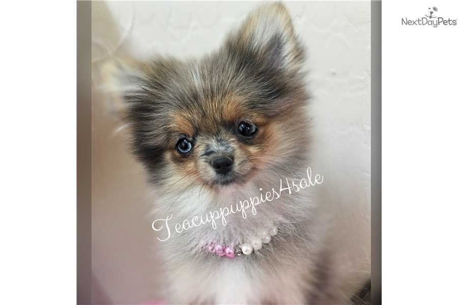 blue pomeranian for sale blue eye merle belle pomeranian puppy for sale near 6389