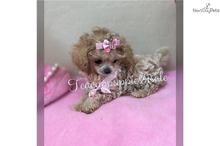Fancy Micro Poodle Poodle Miniature Puppy For Sale Near