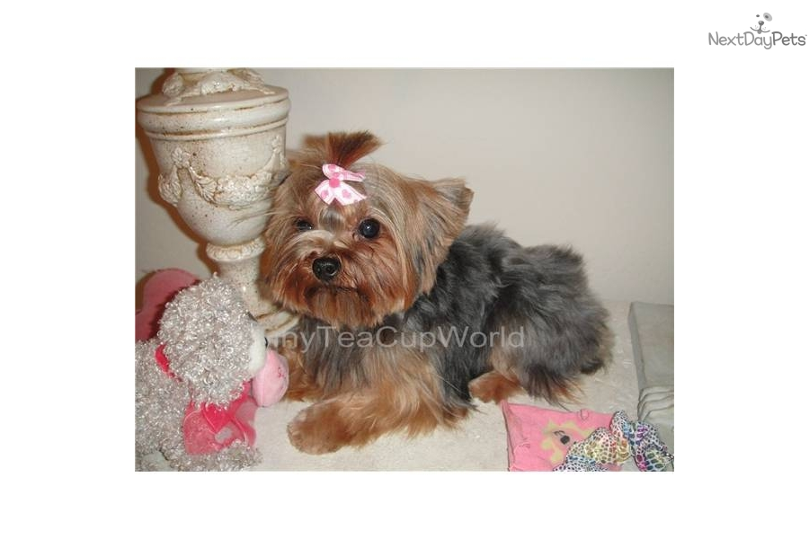 teacup yorkie adults yorkshire terrier yorkie puppy for sale near phoenix 2814