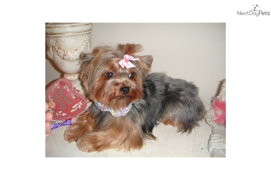 teacup yorkie adults yorkshire terrier yorkie puppy for sale near phoenix 9594