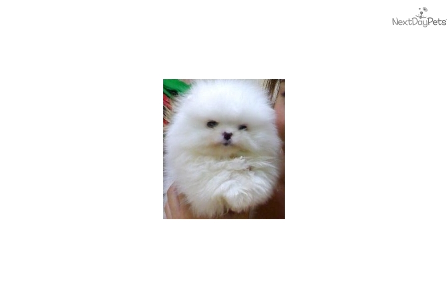 Puppies for Sale from Teacups Pomeranian - Member since