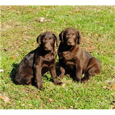 View full profile for Line Mountain Retrievers