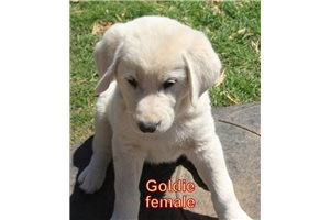 Picture of Goldie