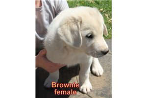 Picture of Brownie