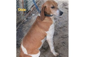 American English Coonhounds for sale