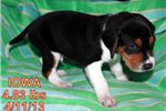 Picture of a Treeing Walker Coonhound Puppy