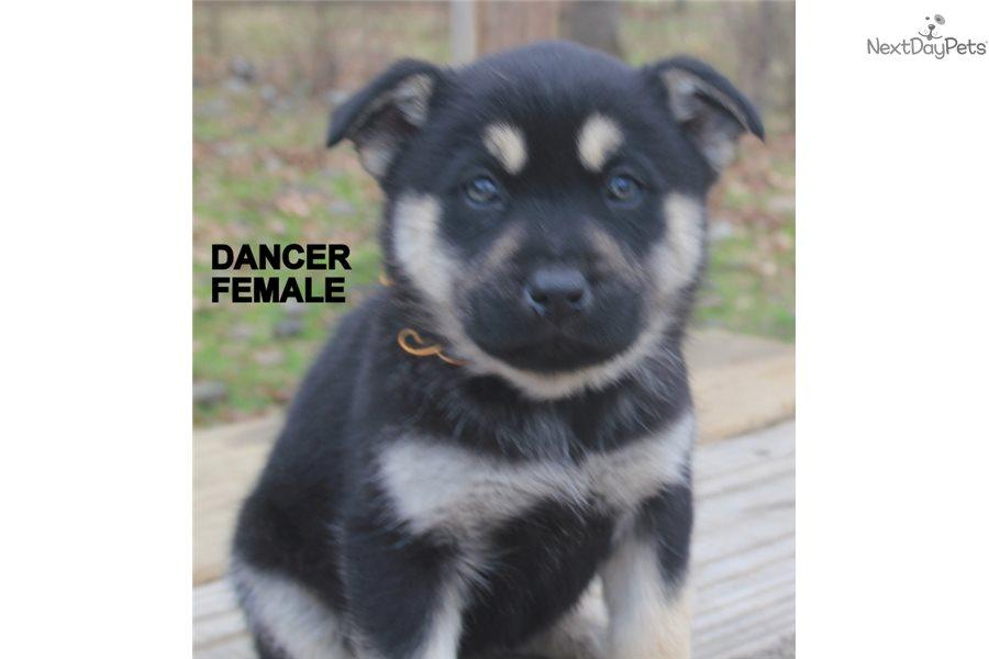 Dancer: Wolf Hybrid puppy for sale near Fort Smith, Arkansas