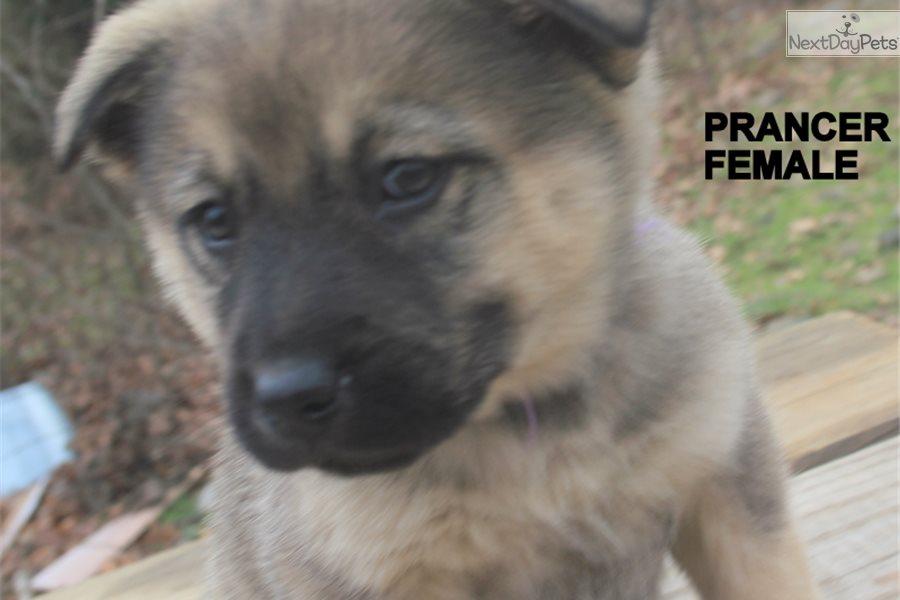 Prancer: Wolf Hybrid puppy for sale near Fort Smith