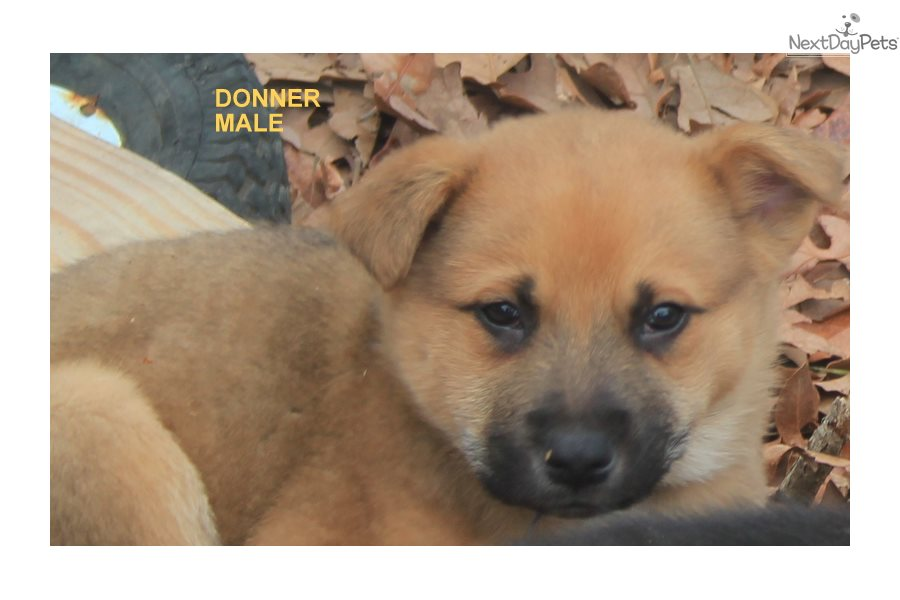 Donner Wolf Hybrid Puppy For Sale Near Fort Smith Arkansas