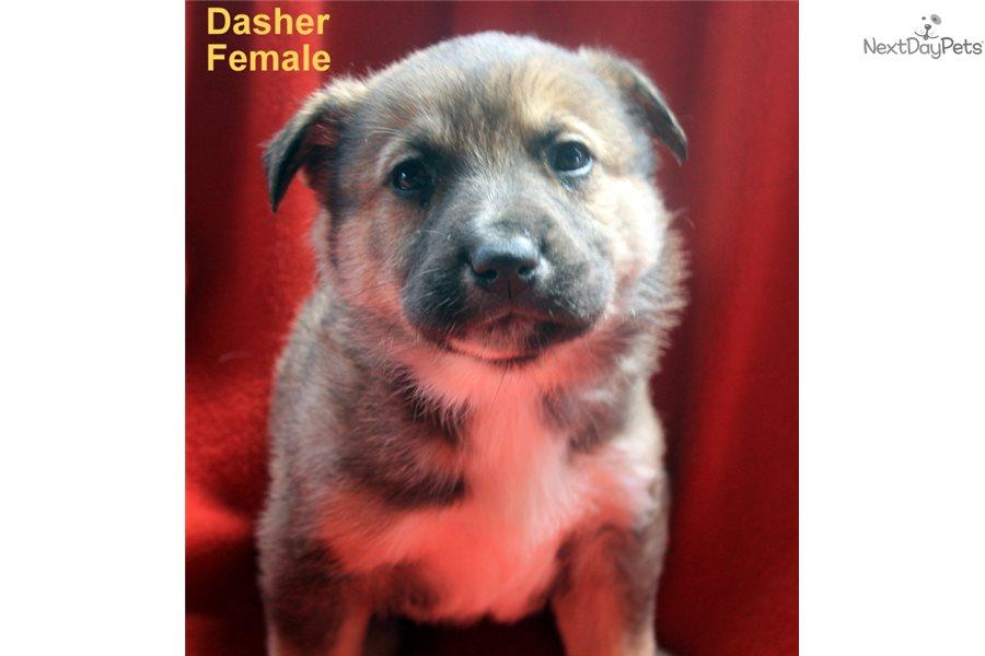 Dasher Wolf Hybrid Puppy For Sale Near Fort Smith Arkansas