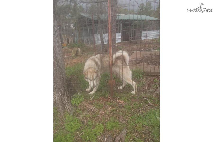 Blitzen Wolf Hybrid Puppy For Sale Near Fort Smith Arkansas