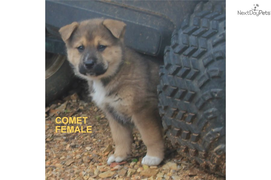 Comet: Wolf Hybrid puppy for sale near Fort Smith, Arkansas
