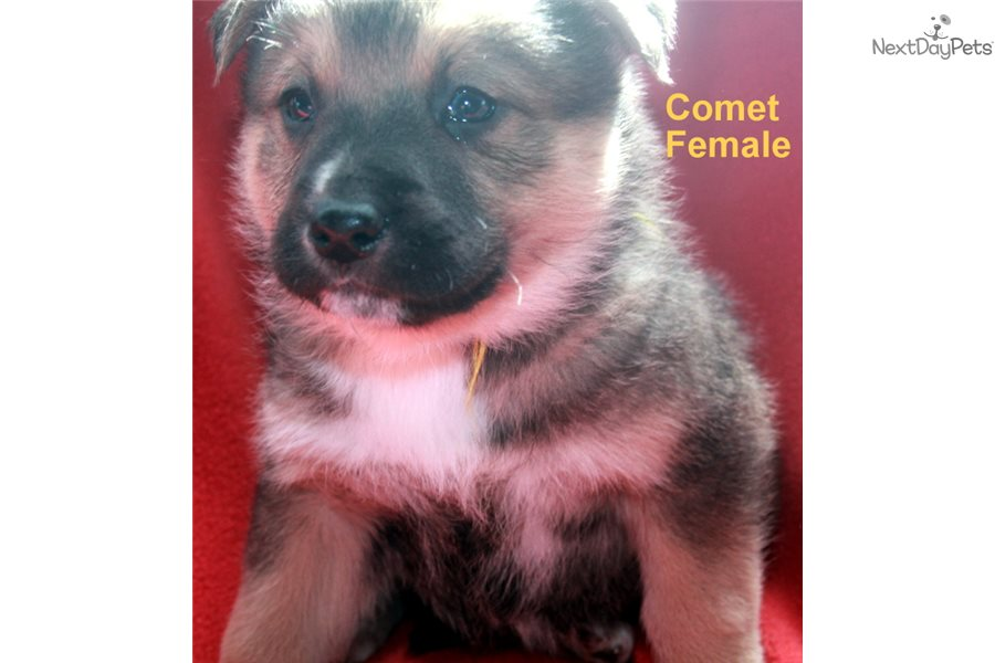 Comet Wolf Hybrid Puppy For Sale Near Fort Smith Arkansas