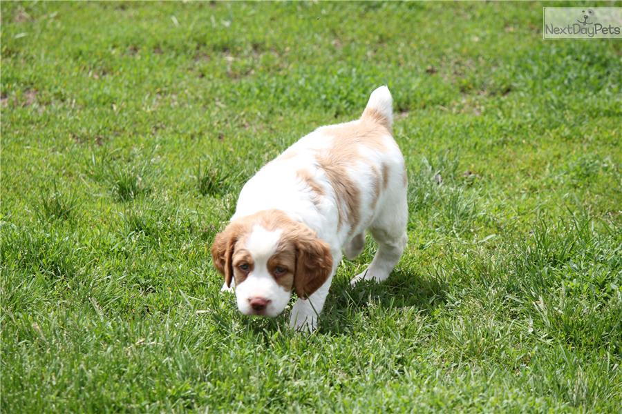 Brittany Spaniel puppy for sale near Rockford, Illinois ...