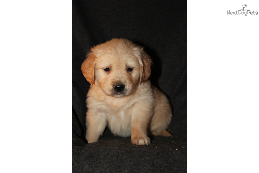 Golden Retriever puppy for sale near Rockford, Illinois ...