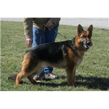 View full profile for Vonwittes German Shepherds & European Line Doberman Pinschers