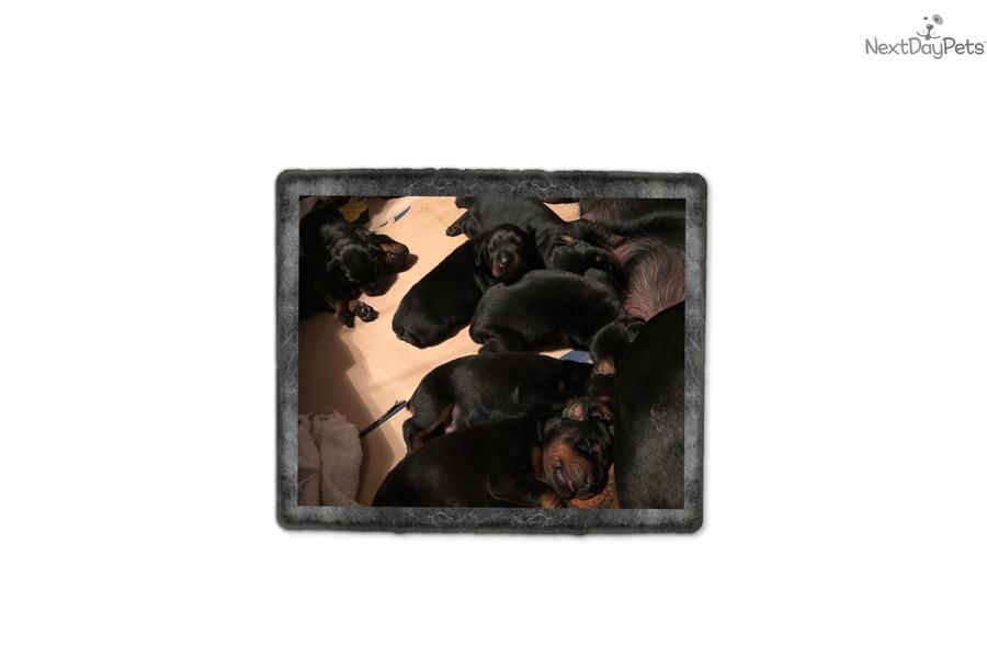 Doberman Pinscher Puppy For Sale Near Grand Rapids Michigan