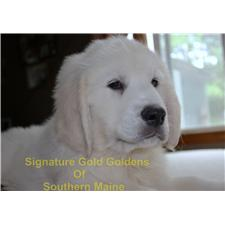 View full profile for Signature Gold Goldens