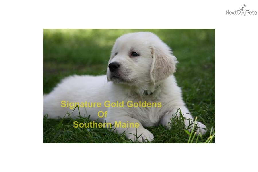 Golden Retriever for sale for $1,650, near Maine. d6f0dffc ...