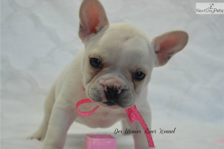 french bulldog st louis zoey french bulldog puppy for sale near st louis 1100
