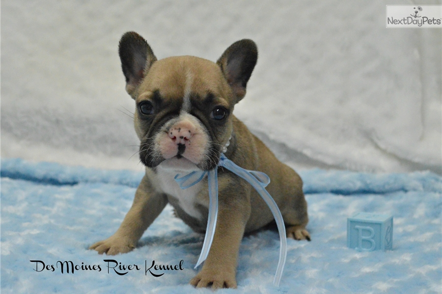 french bulldog st louis royce french bulldog puppy for sale near st louis 5504