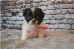 Picture of Stella the teacup Shihpom