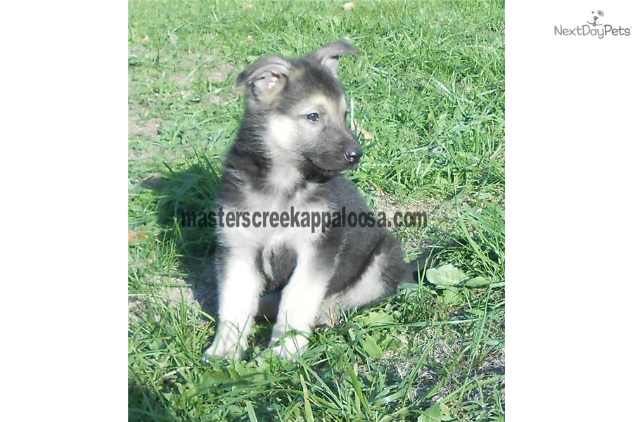 raising a german shepherd german shepherd puppy for sale near lake of the ozarks 9459