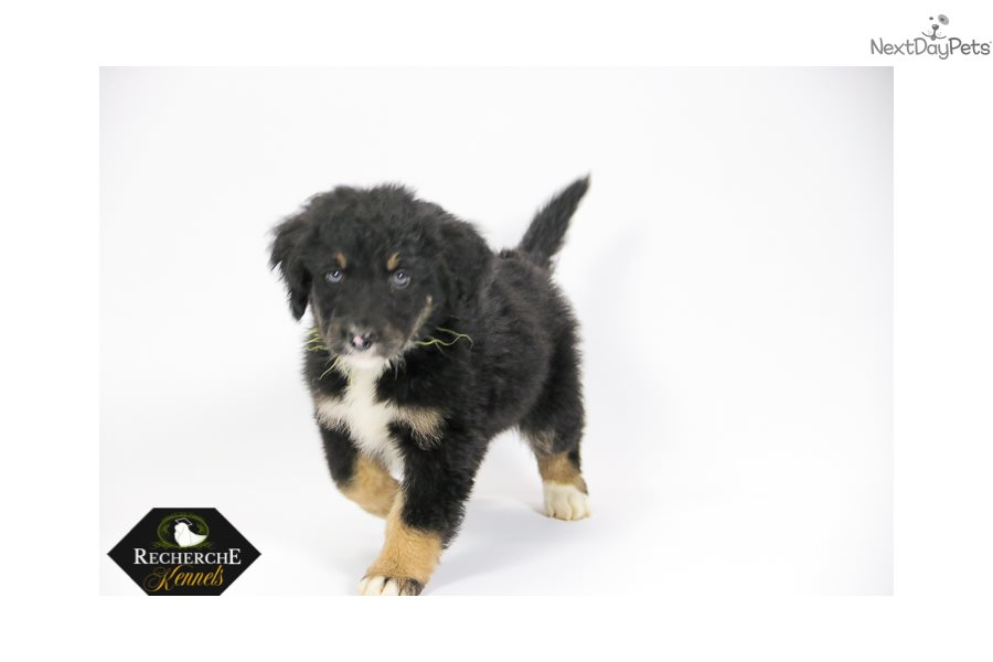 Ms Yellow Bernedoodle Puppy For Sale Near Hickory Lenoir North