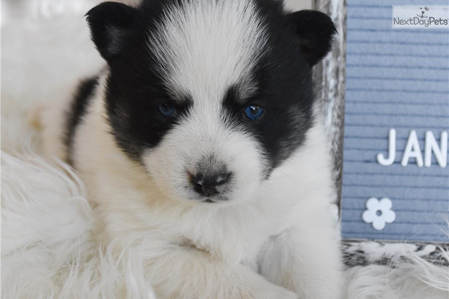 Ollie: Pomsky puppy for sale near Kansas City, Missouri ...