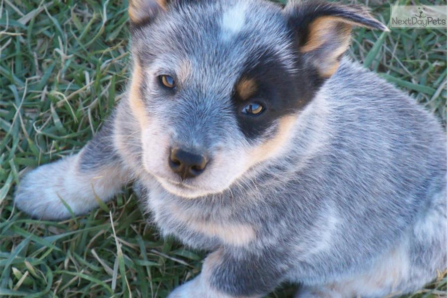 Queensland Heeler Puppy For Sale Near Chattanooga